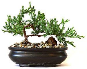 Juniper Tree Bonsai with Bonsai Pot